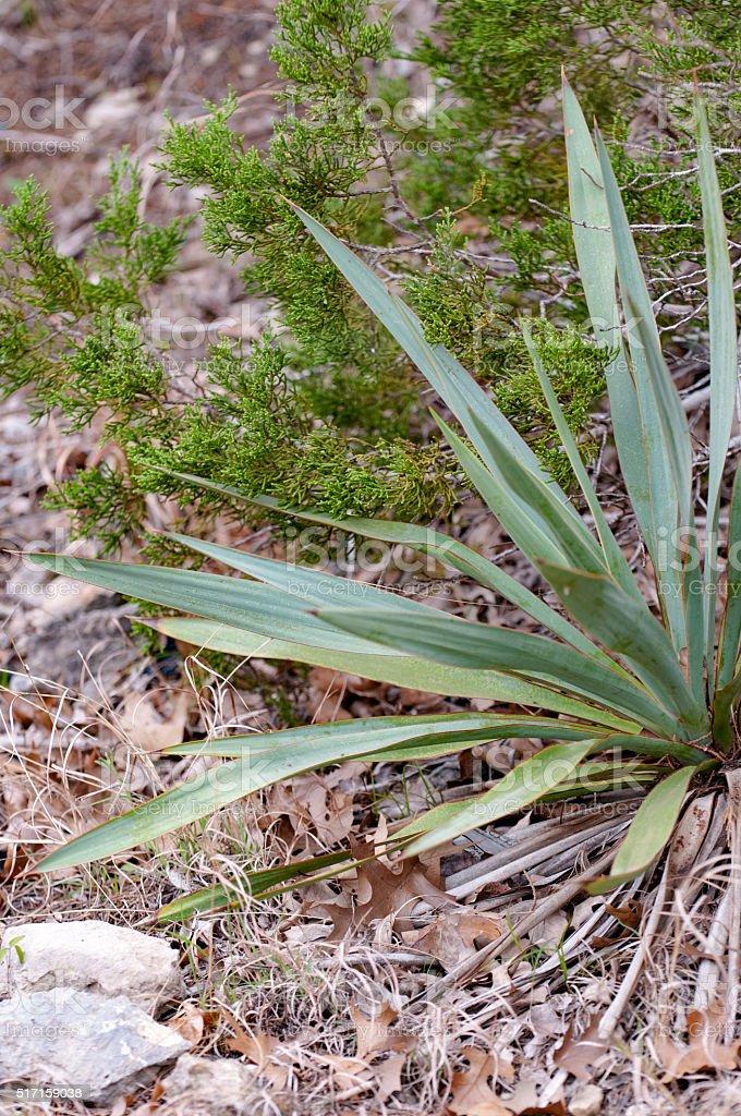 Texas Plantlife stock photo