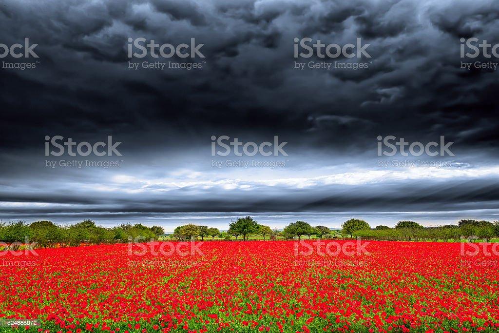 Texas Poppy Fields stock photo