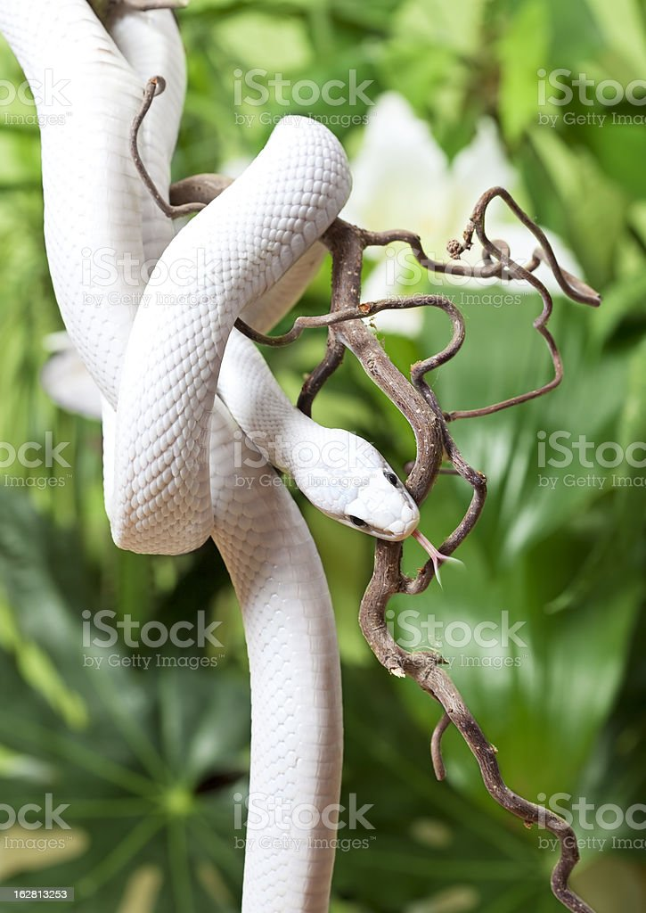 Texas rat snake rested on branch royalty-free stock photo