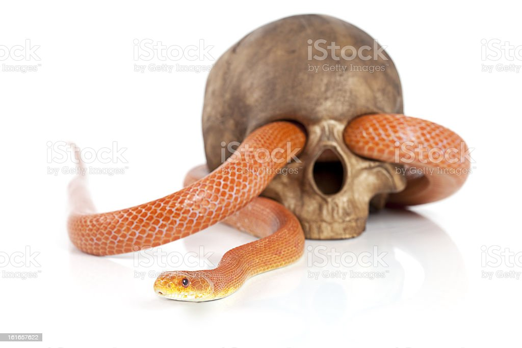 Texas rat snake with skull royalty-free stock photo