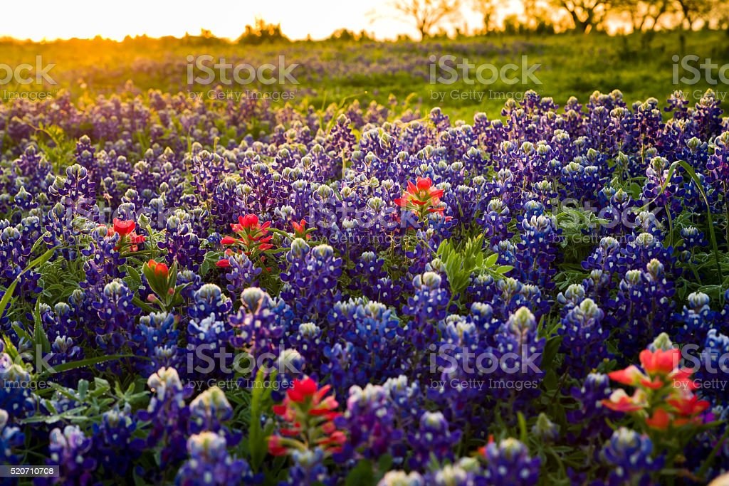 Texas wildflowers awash in early morning sunshine stock photo