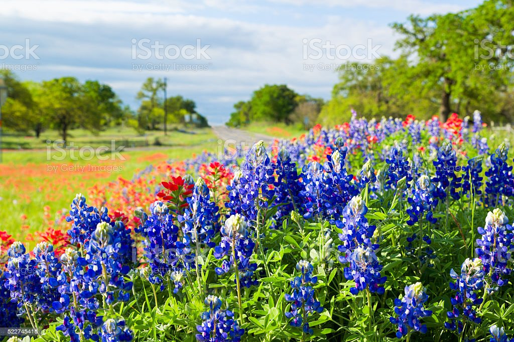 Texas wildflowers awash in morning sunshine stock photo