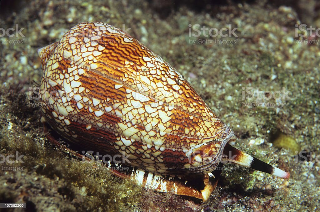 Textile Cone Shell royalty-free stock photo