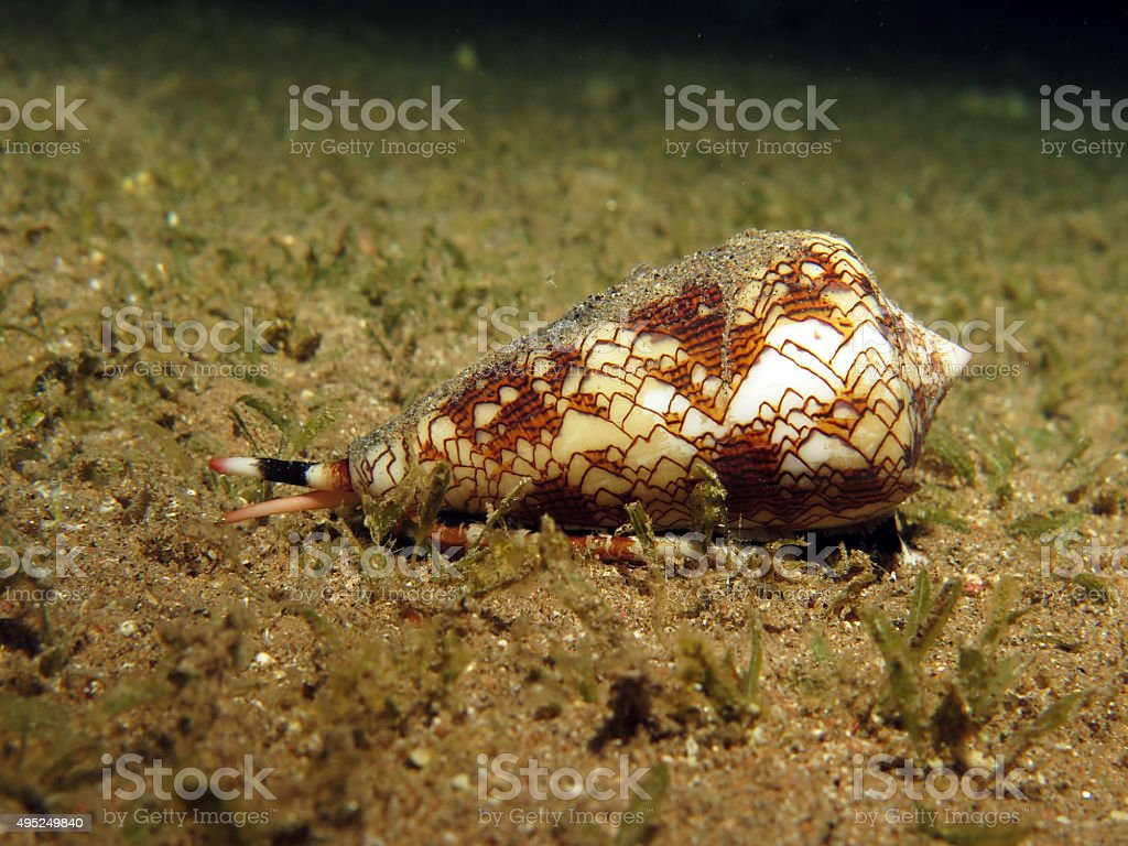 Textile cone shell stock photo