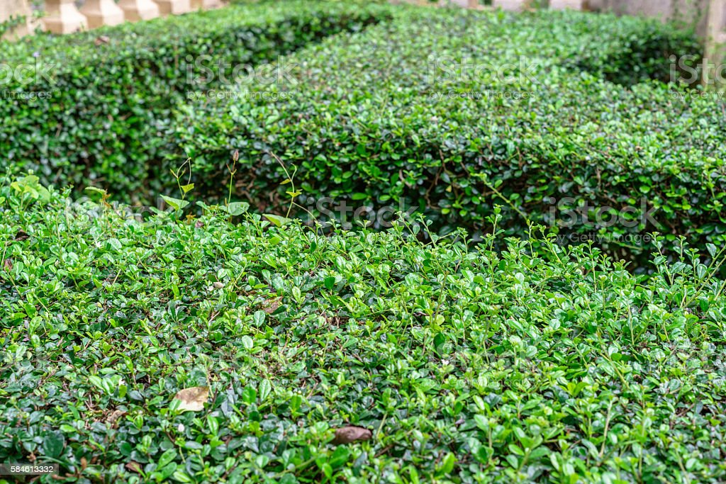 Texture and background of green hedge photo libre de droits