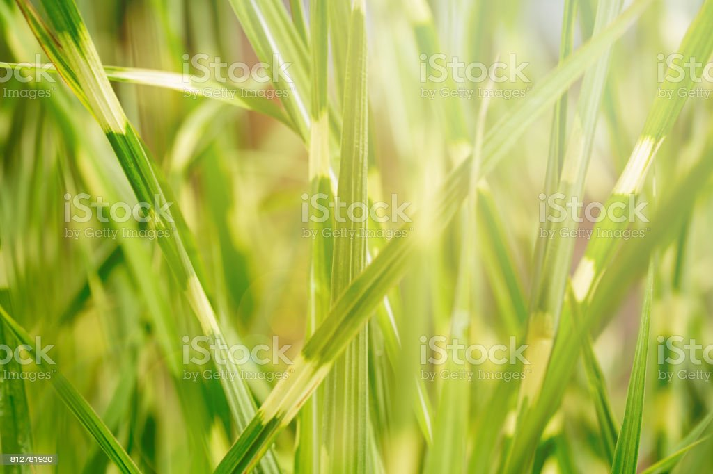 Texture background of fresh green bulrush leaves against sunlight on the background. Close up, soft focus stock photo