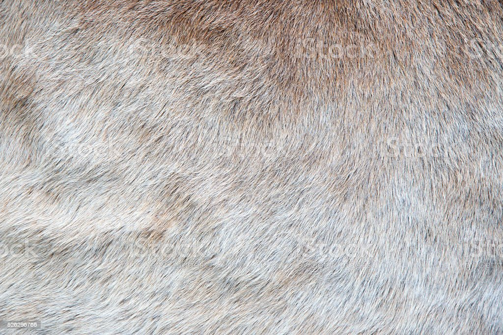 Texture of a Cow Coat stock photo