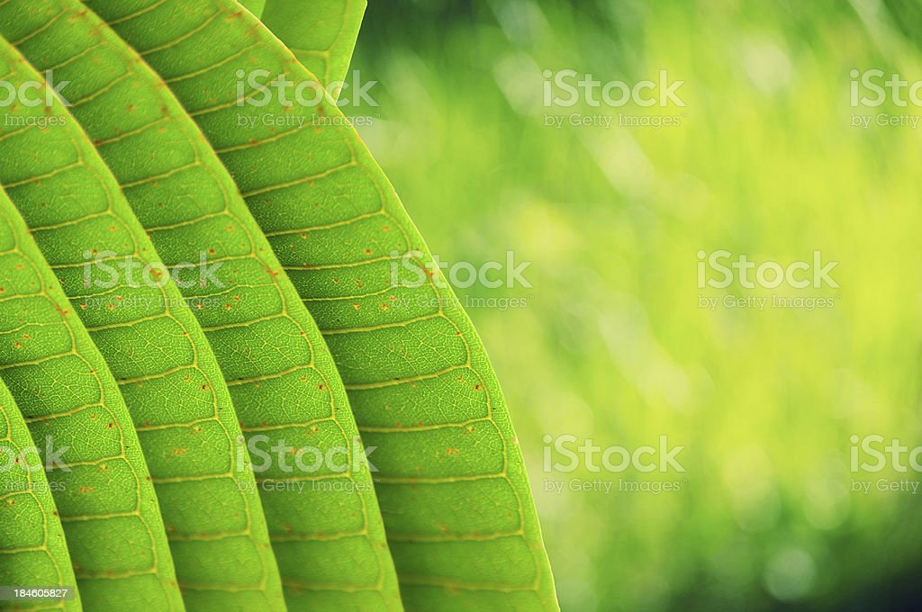 Texture of a green leaf as background royalty-free stock photo