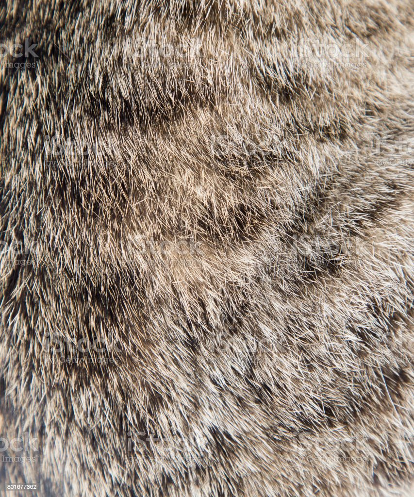 Texture of a wool of a cat