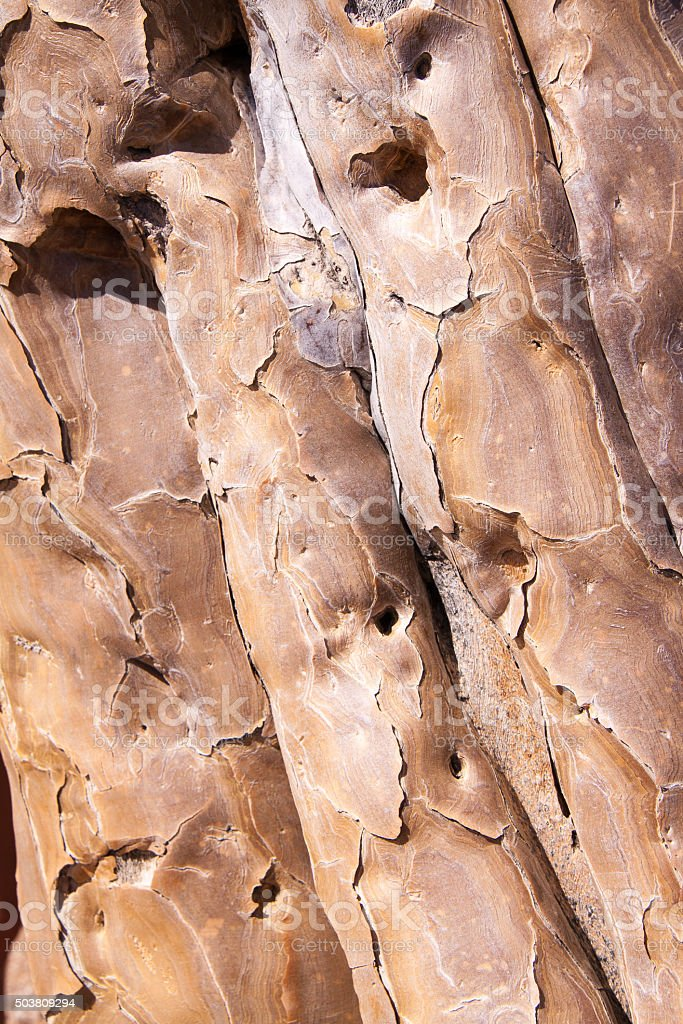 Texture of Bark of Quiver Tree stock photo