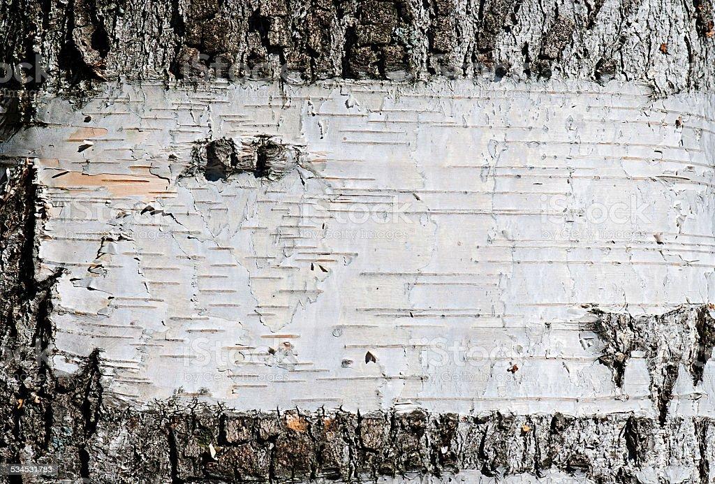 Texture d'écorce de bouleau, arrière-plan photo libre de droits