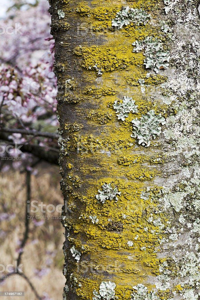 Texture of Cherry Tree royalty-free stock photo