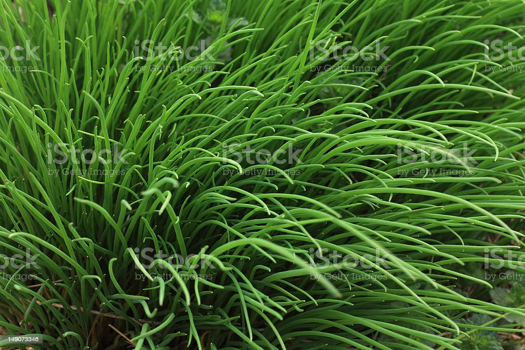 texture of chives stock photo