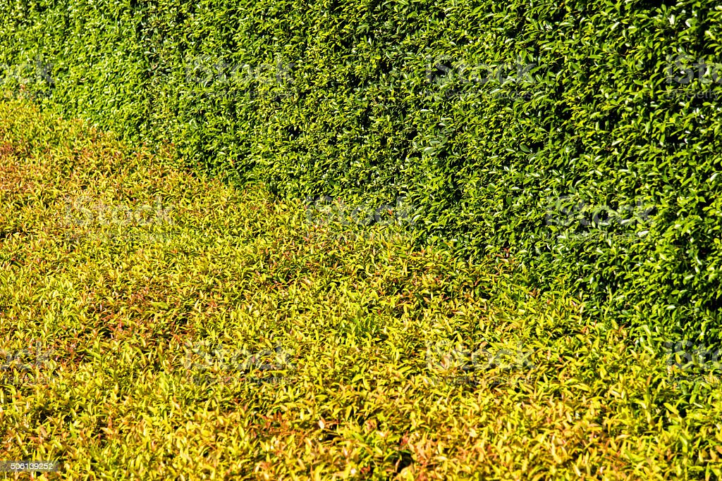 texture of color shrub leafs stock photo