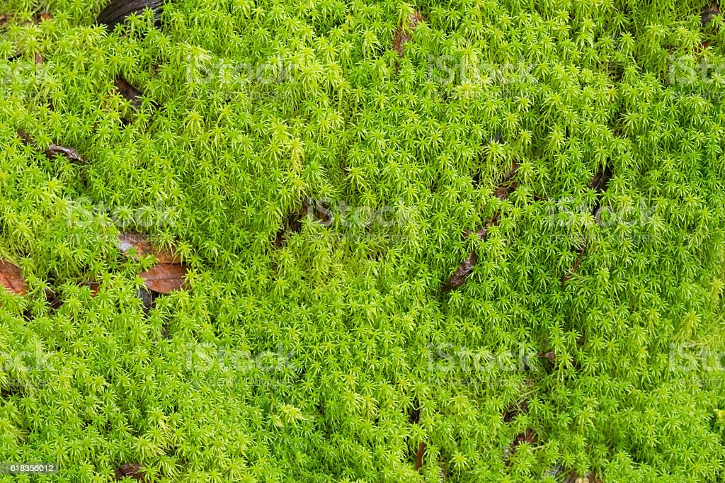 Texture of fresh green Peat moss, Sphagnum Moss in forest stock photo
