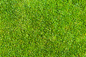 Texture of Green a Perfect Grass Lawn Background