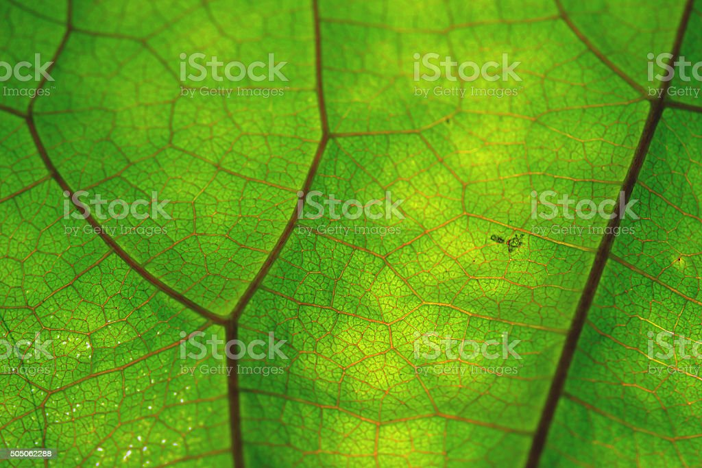 Texture of green leaf and veins stock photo