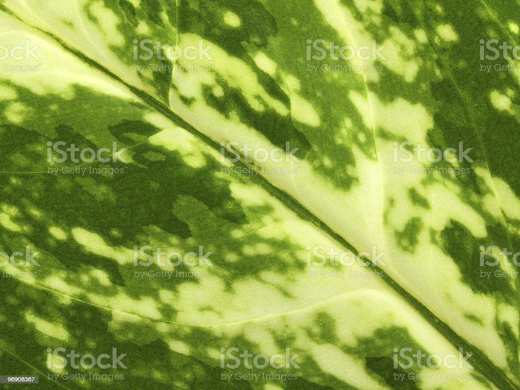 Texture of green leaf royalty-free stock photo