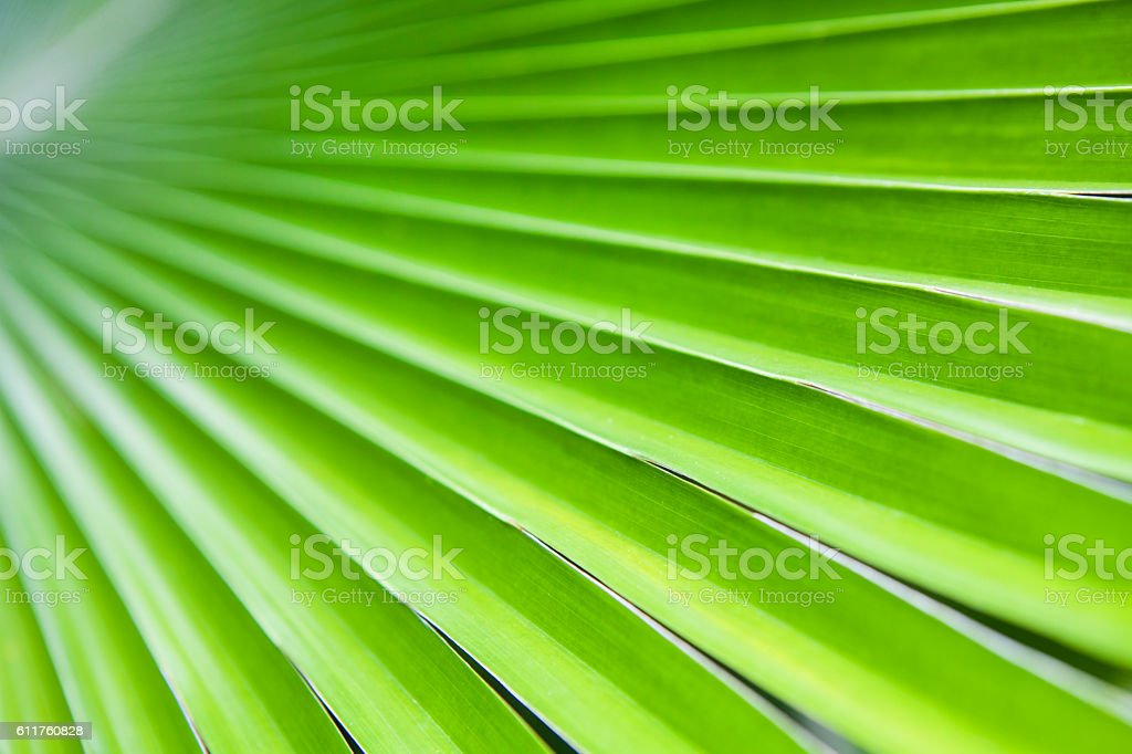 Texture of Green palm Leaf.( blur ) stock photo