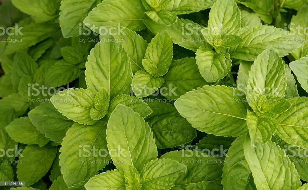 Texture of mint stock photo