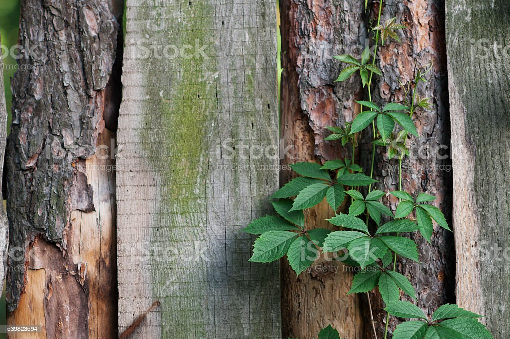 texture of old wooden fence with climbing plants stock photo