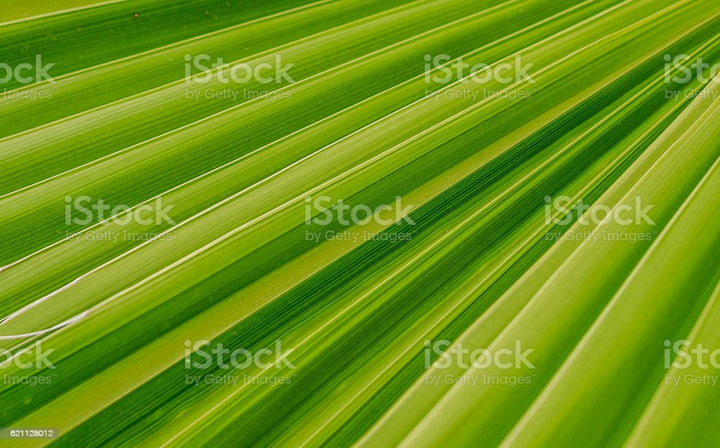 Texture of palm leaf stock photo