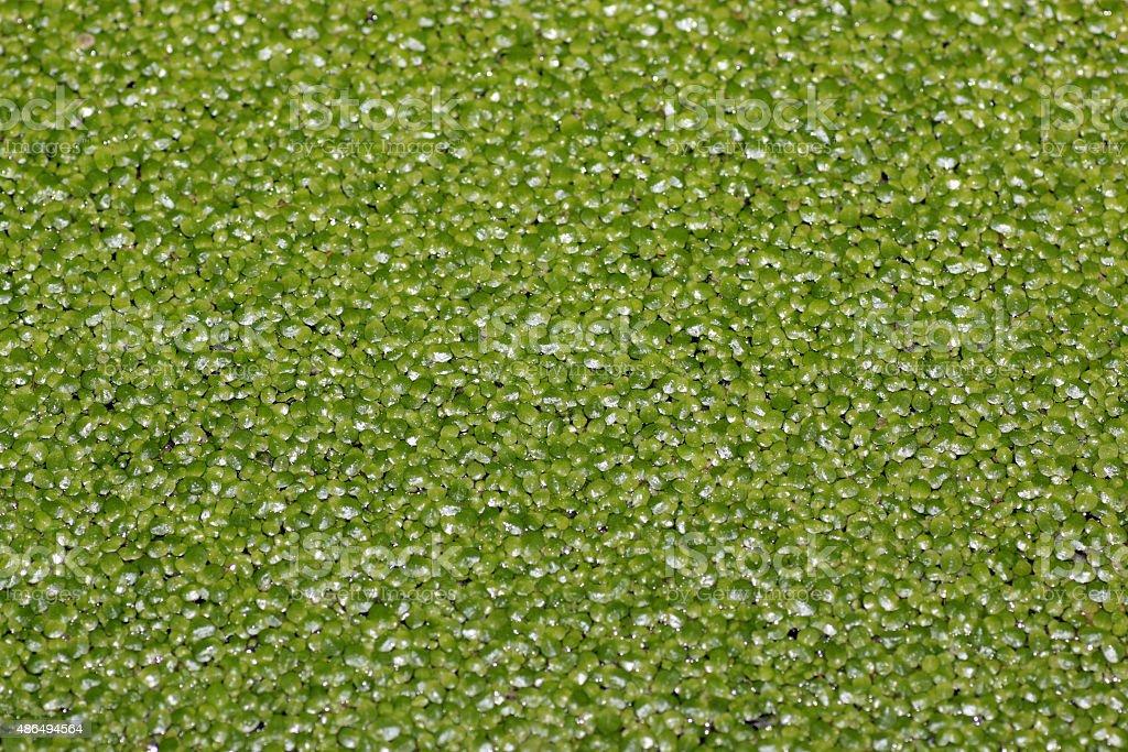 texture of slime algae stock photo
