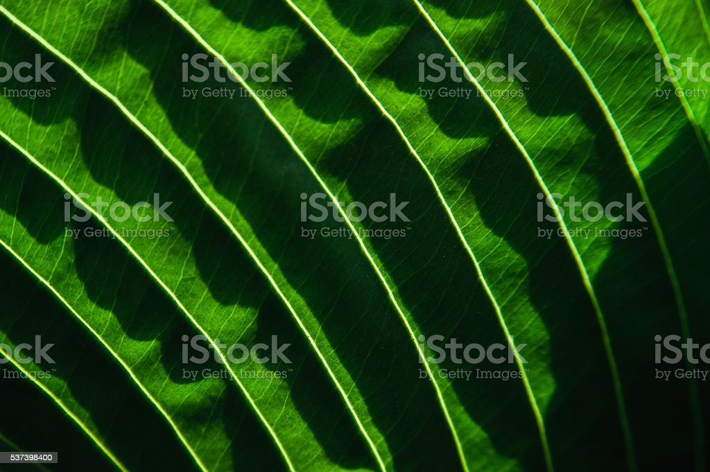 texture of the leaf a plant illuminated by the sun stock photo
