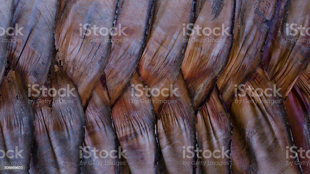 Textura de árbol Ravenala de corteza foto de stock libre de derechos