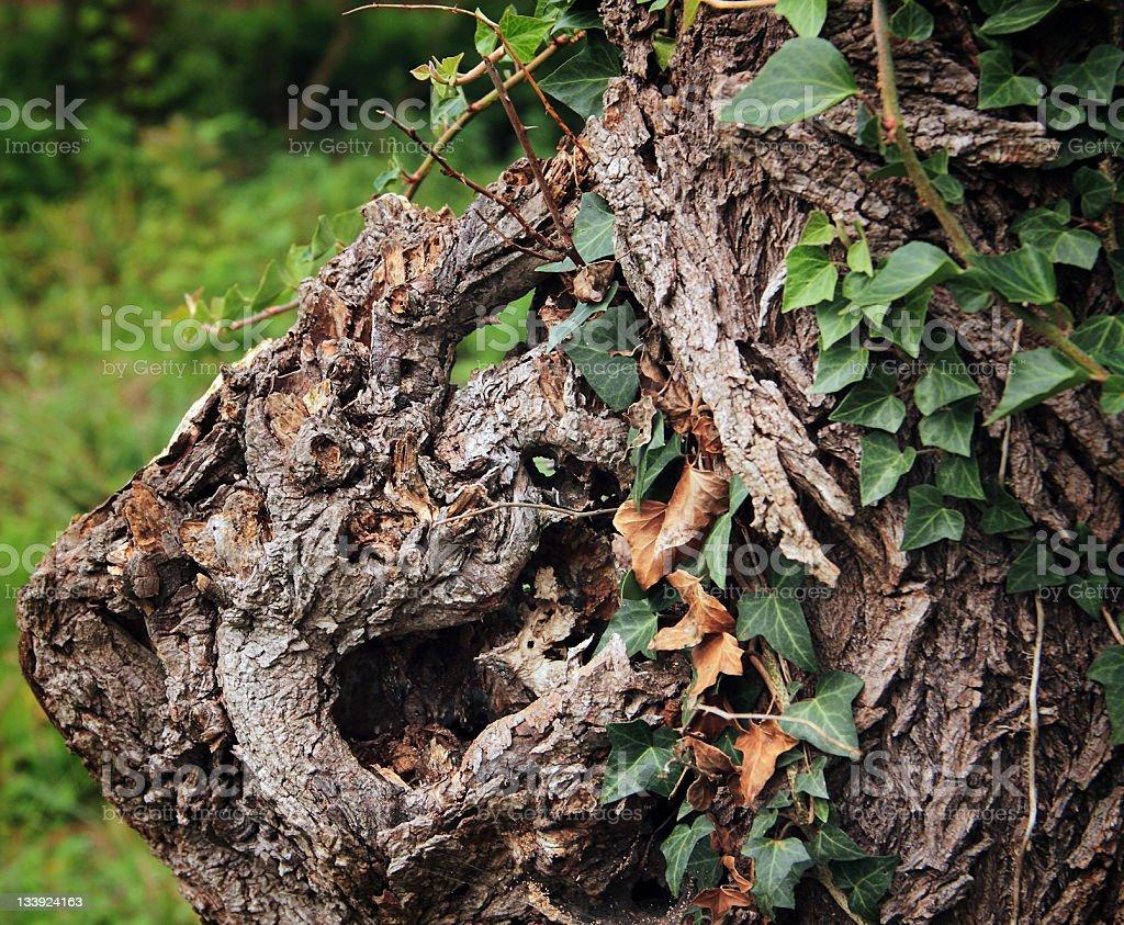 Texture of Tree royalty-free stock photo