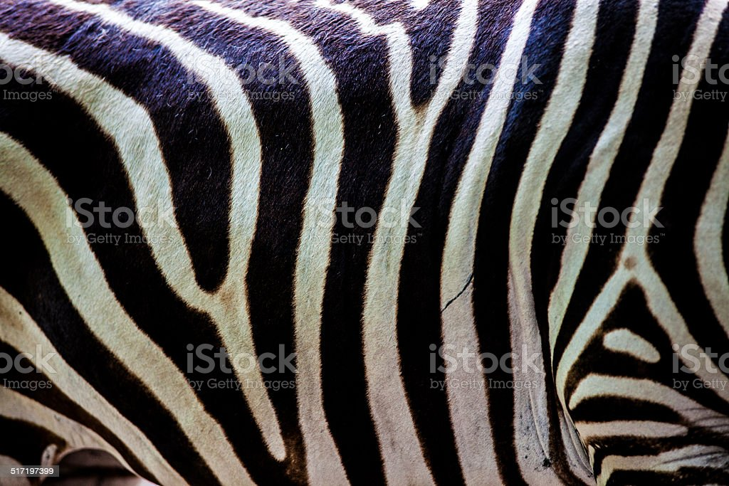 texture of zebra skin stock photo
