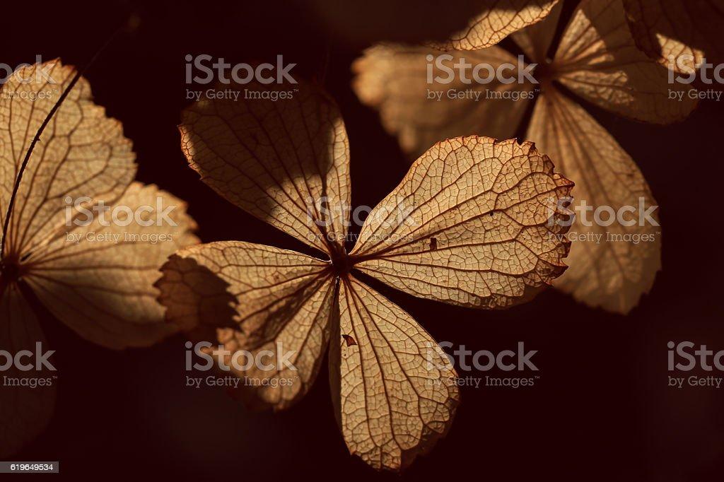Texture on dry hydrangea stock photo