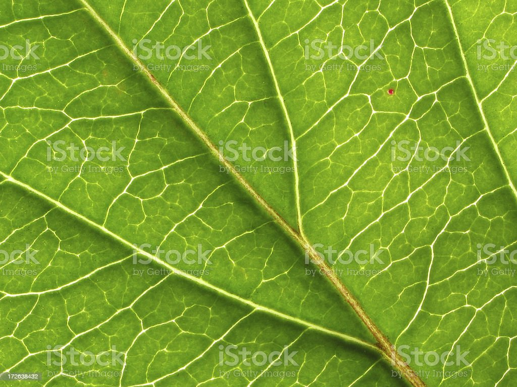 Texture / Pattern - back of honeysuckle leaf royalty-free stock photo