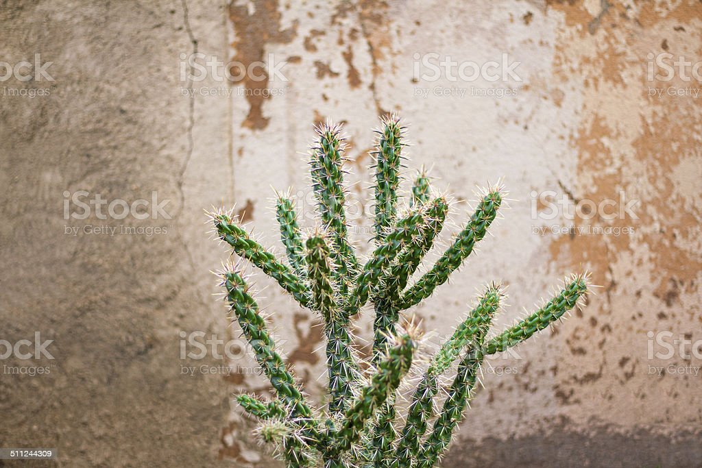 Textured Adobe Wall and Cane Cholla Cactus stock photo