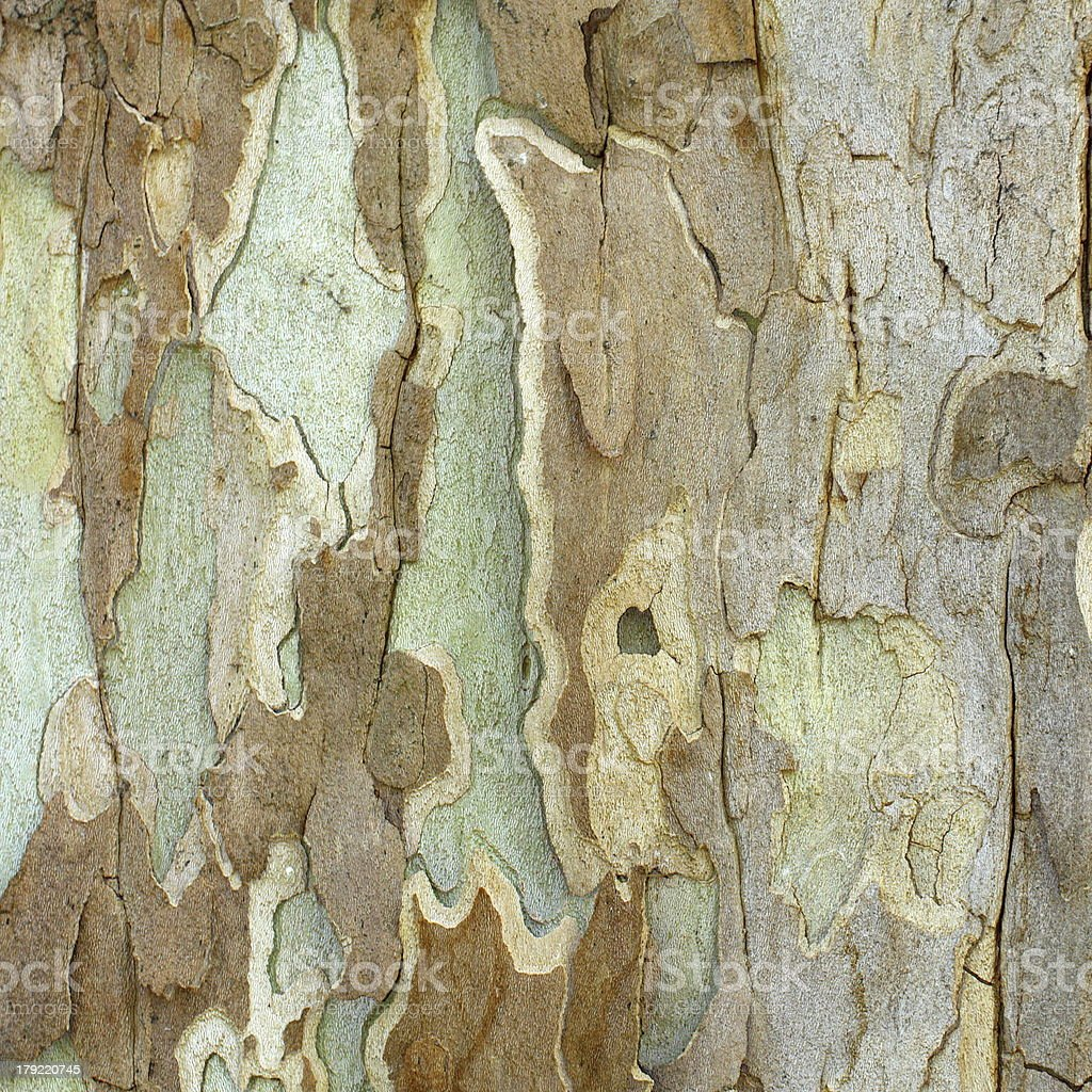 textured bark of a sycamore stock photo