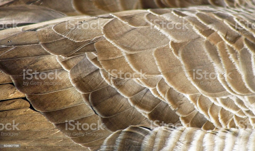 Textured layers of feathers of the Canada Goose stock photo
