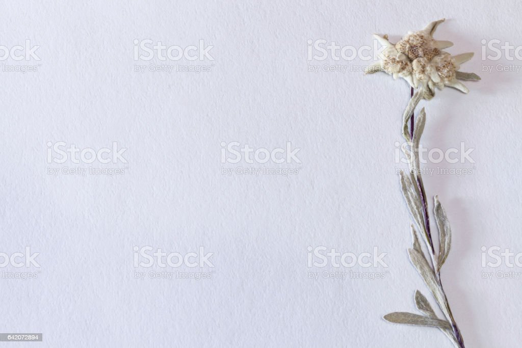 Textured paper background with dried edelweiss flower, horizontal stock photo