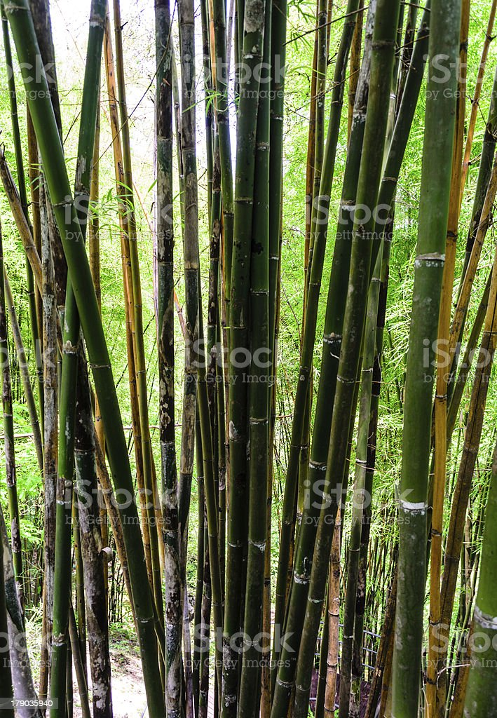 Thai Bamboo Forest royalty-free stock photo