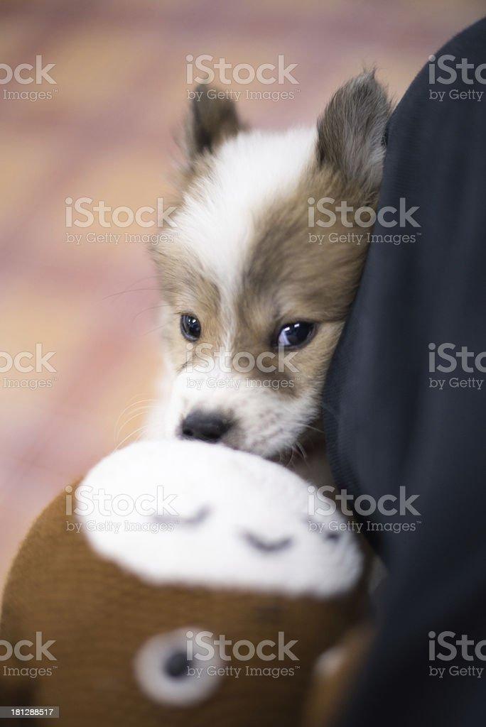 Thai bang-kaew dog royalty-free stock photo