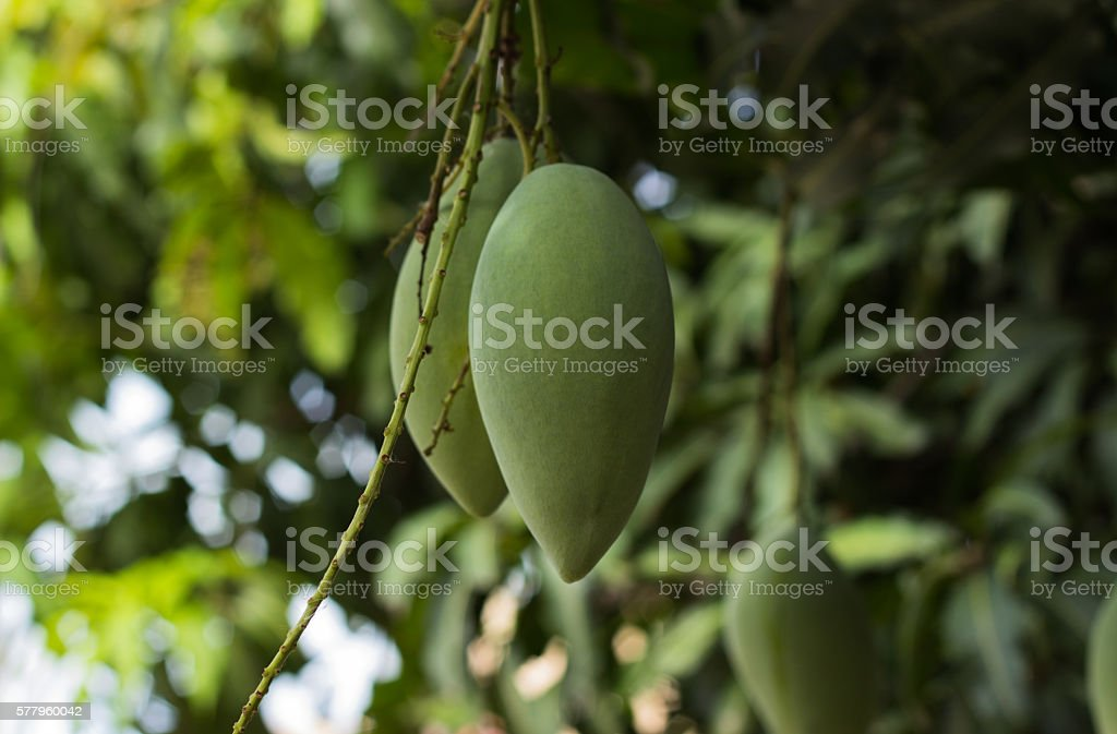 Thai Barracuda mangoes stock photo