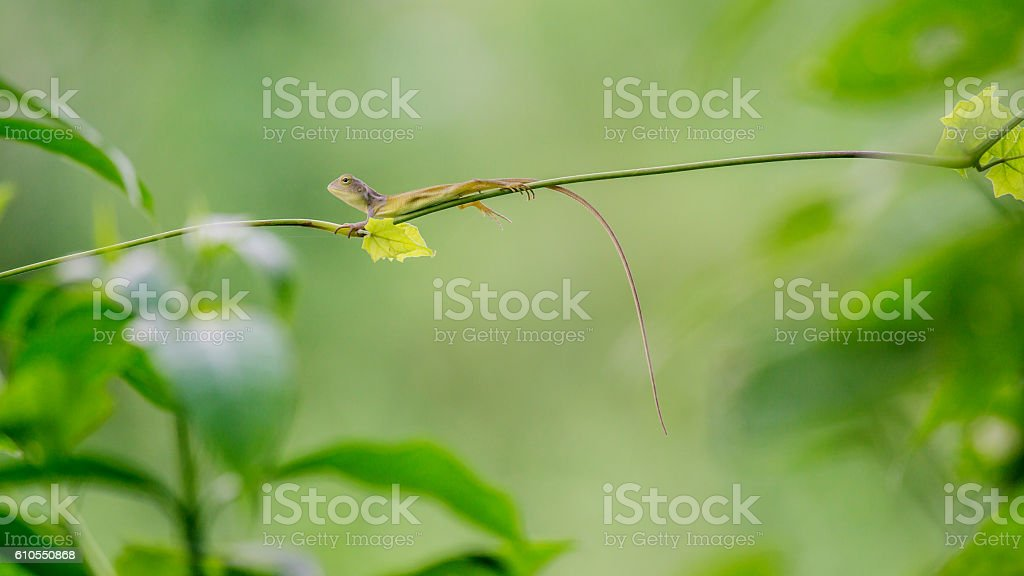 Thai Brown baby chameleon on climber. stock photo