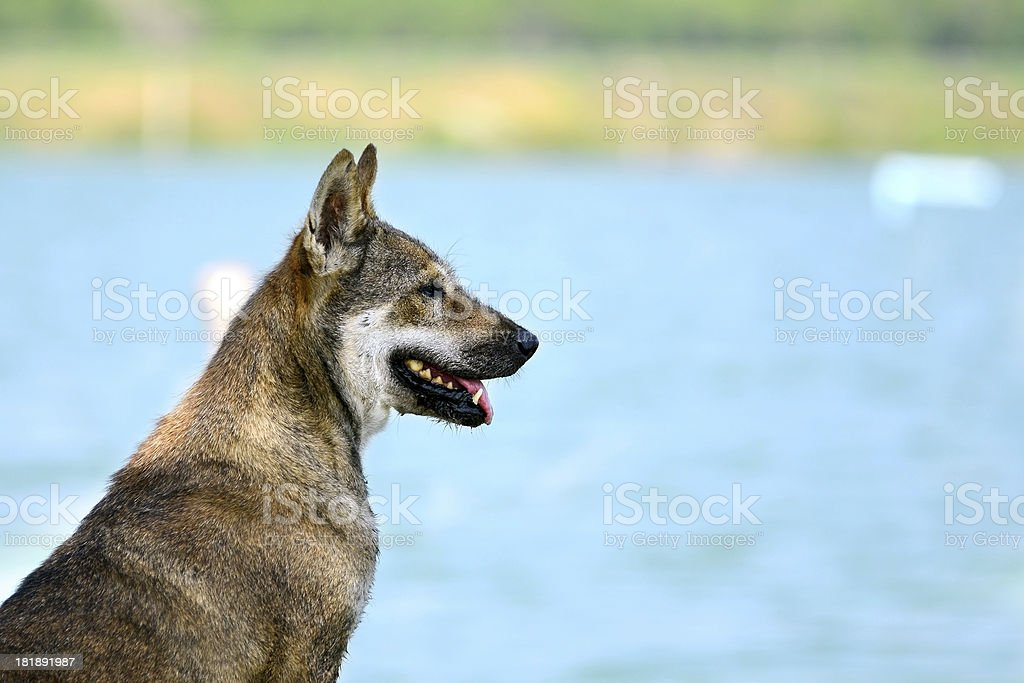 Thai Brown dog near the sea royalty-free stock photo