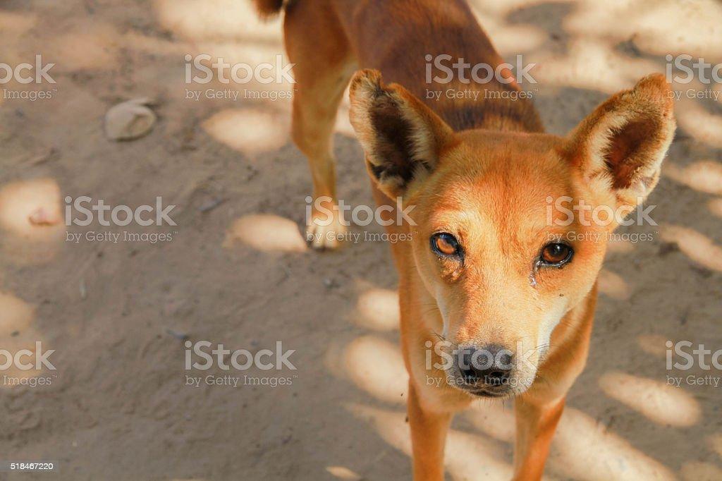Thai brown dog. Thai primitive dog. stock photo