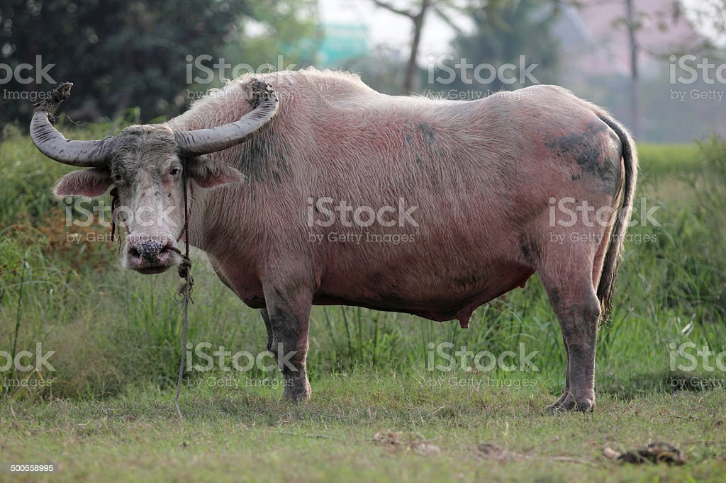 Thai Buffalo in the Field royalty-free stock photo
