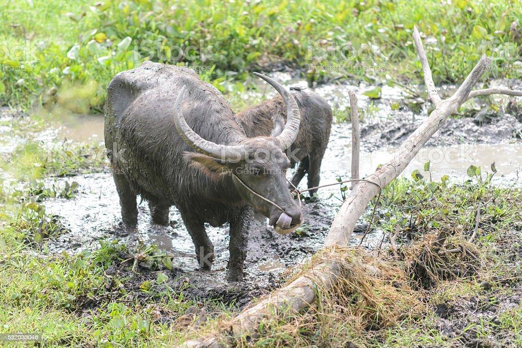Thai buffalo on mire stock photo