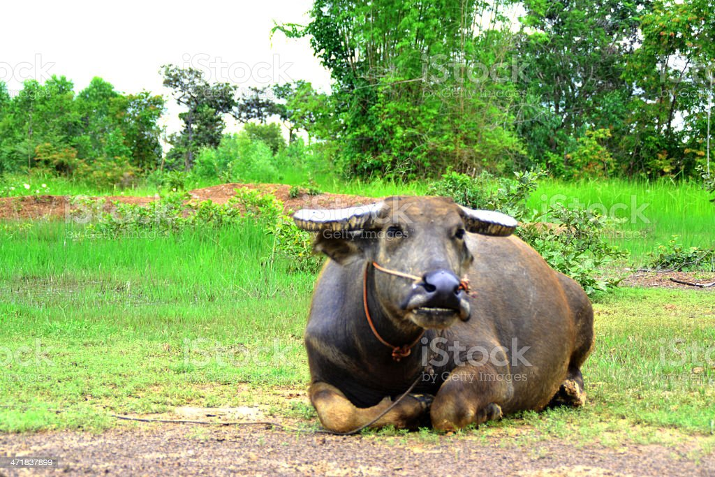Thai buffalo royalty-free stock photo