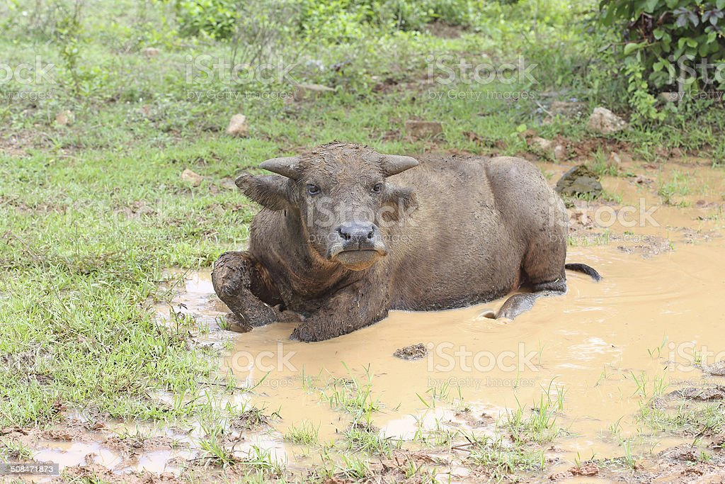 Thai buffalo ,Thailand stock photo