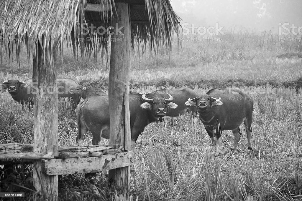 Thai Buffalo, zwierząt ssaków zbiór zdjęć royalty-free