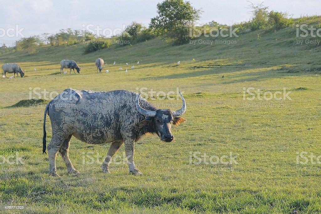 Thai Buffaloes stock photo