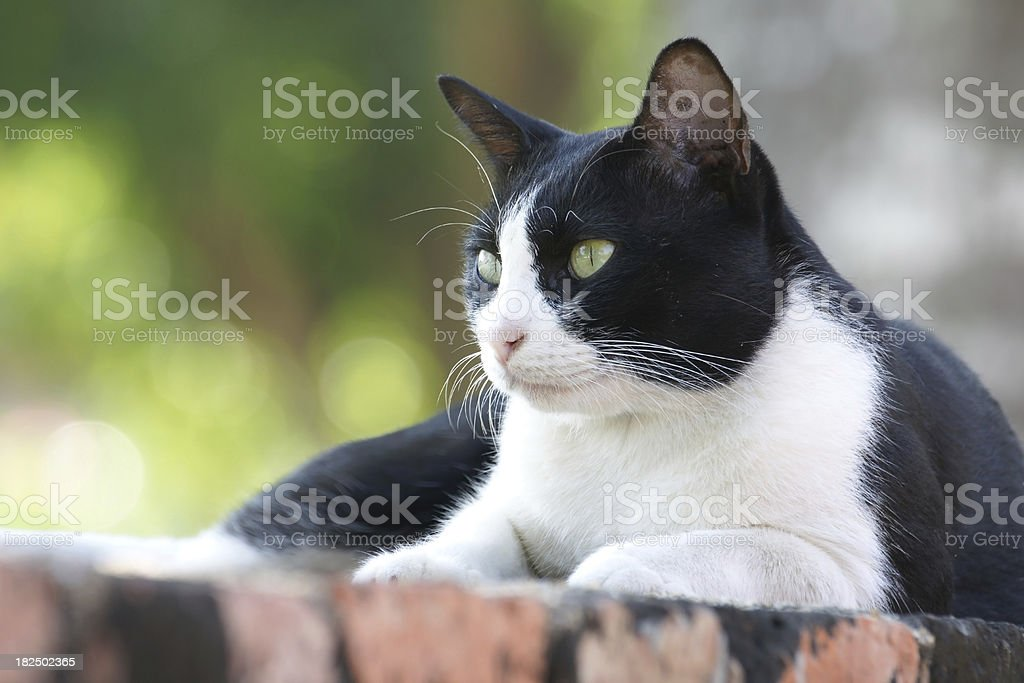 Thai Cat black and white color royalty-free stock photo